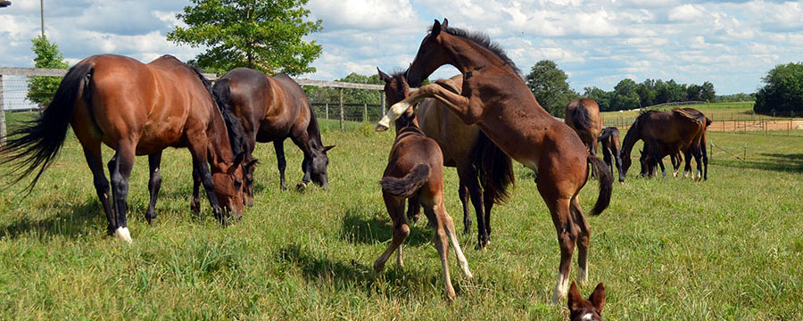 Mares and foals on pasture